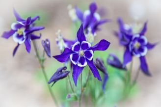 Columbines blooming fresh in the springtime. Colorado state flower.